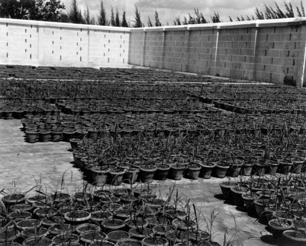 Pots of sugarcane seedlings near the Ozama Sugar Factory in Cuidad Trujillo, Dominican Republic. Reference code: 2011-092.4434